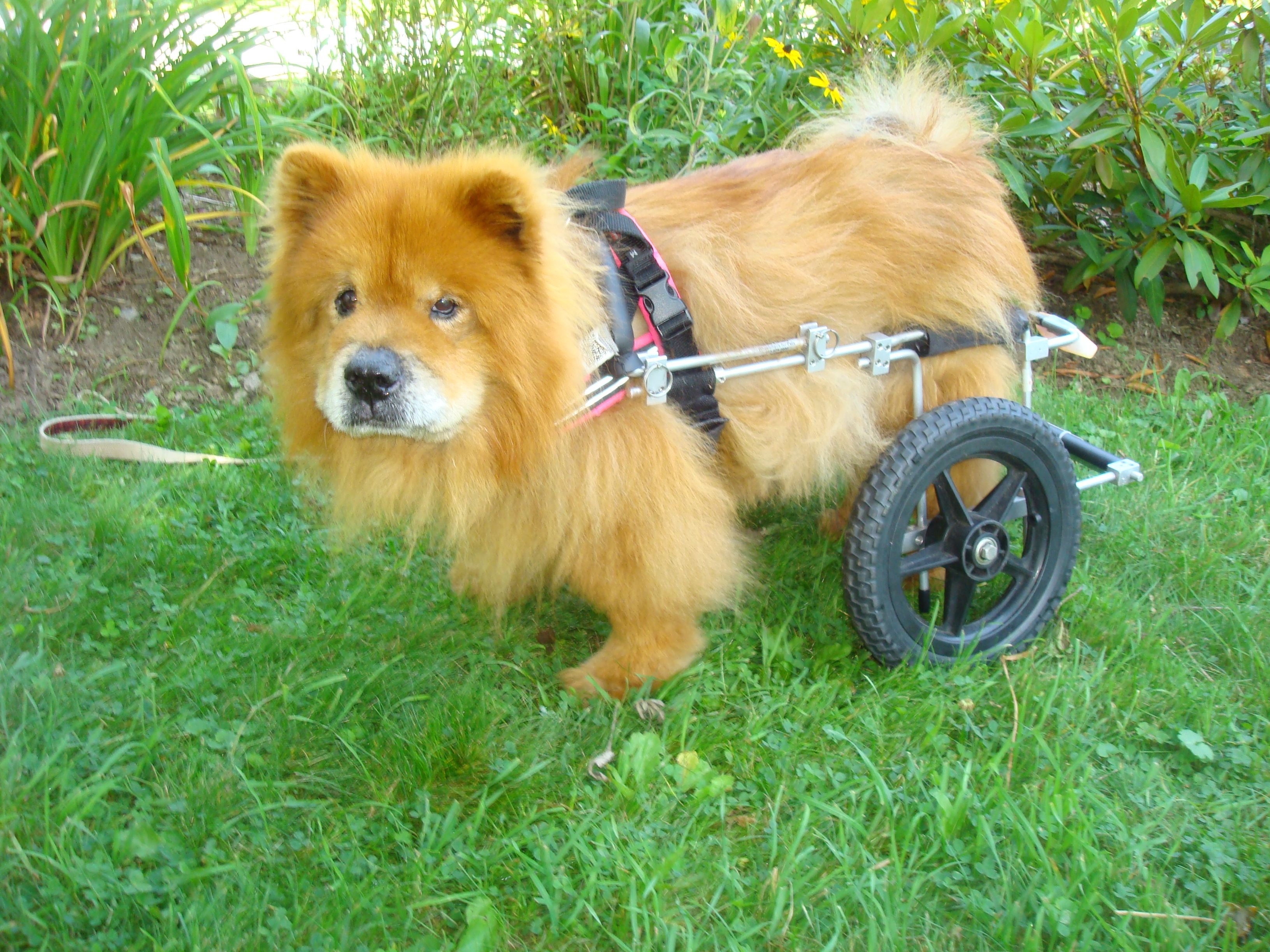 Teddy The Chow In His Dog Wheelchair From Eddie S Wheels Dog