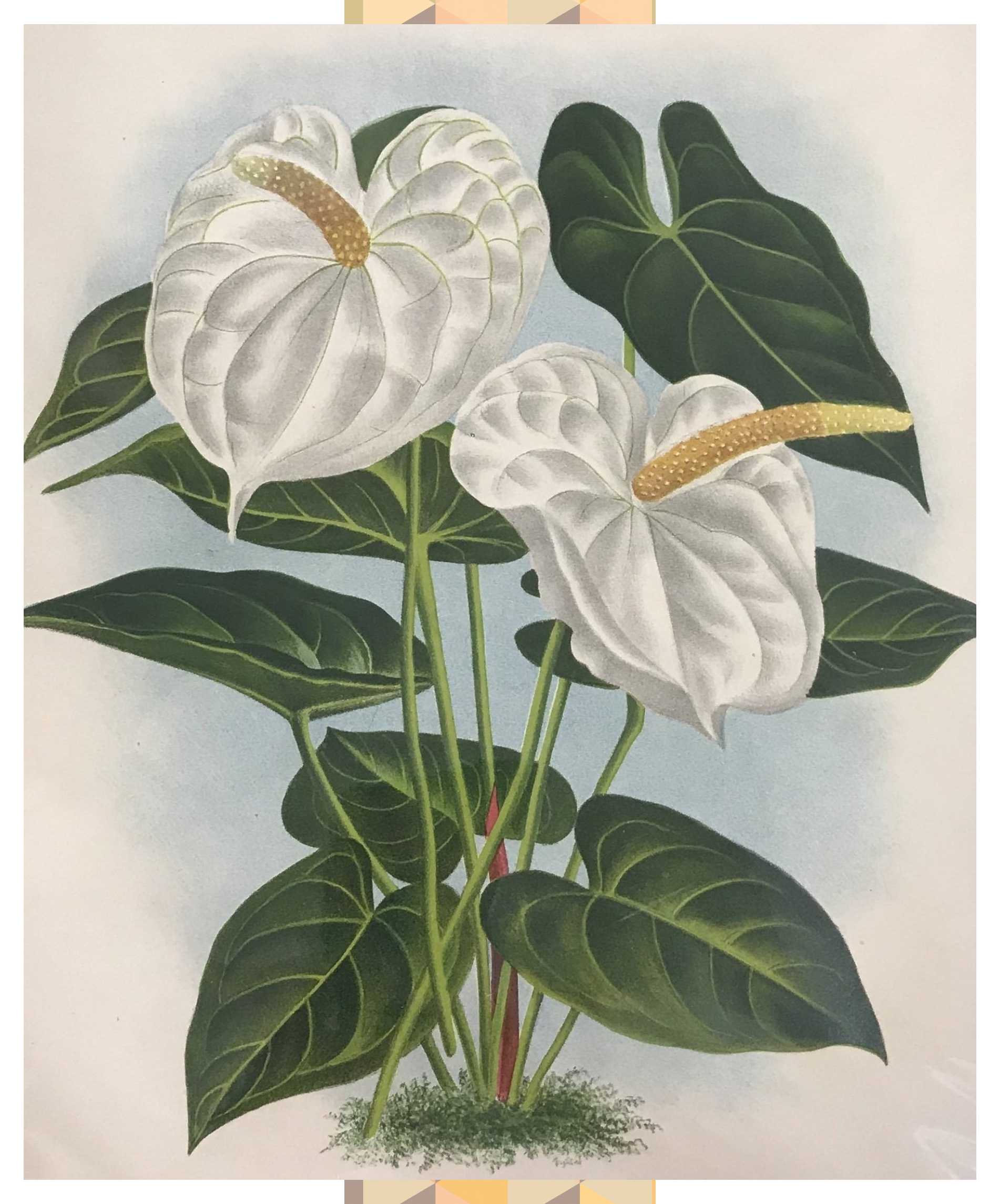 1880 Original Hand Colored Print Of White Anthurium Wambekeanum Anthurium Colored Hand In 2020 Tropical Flowers Illustration Botanical Illustration Flower Drawing