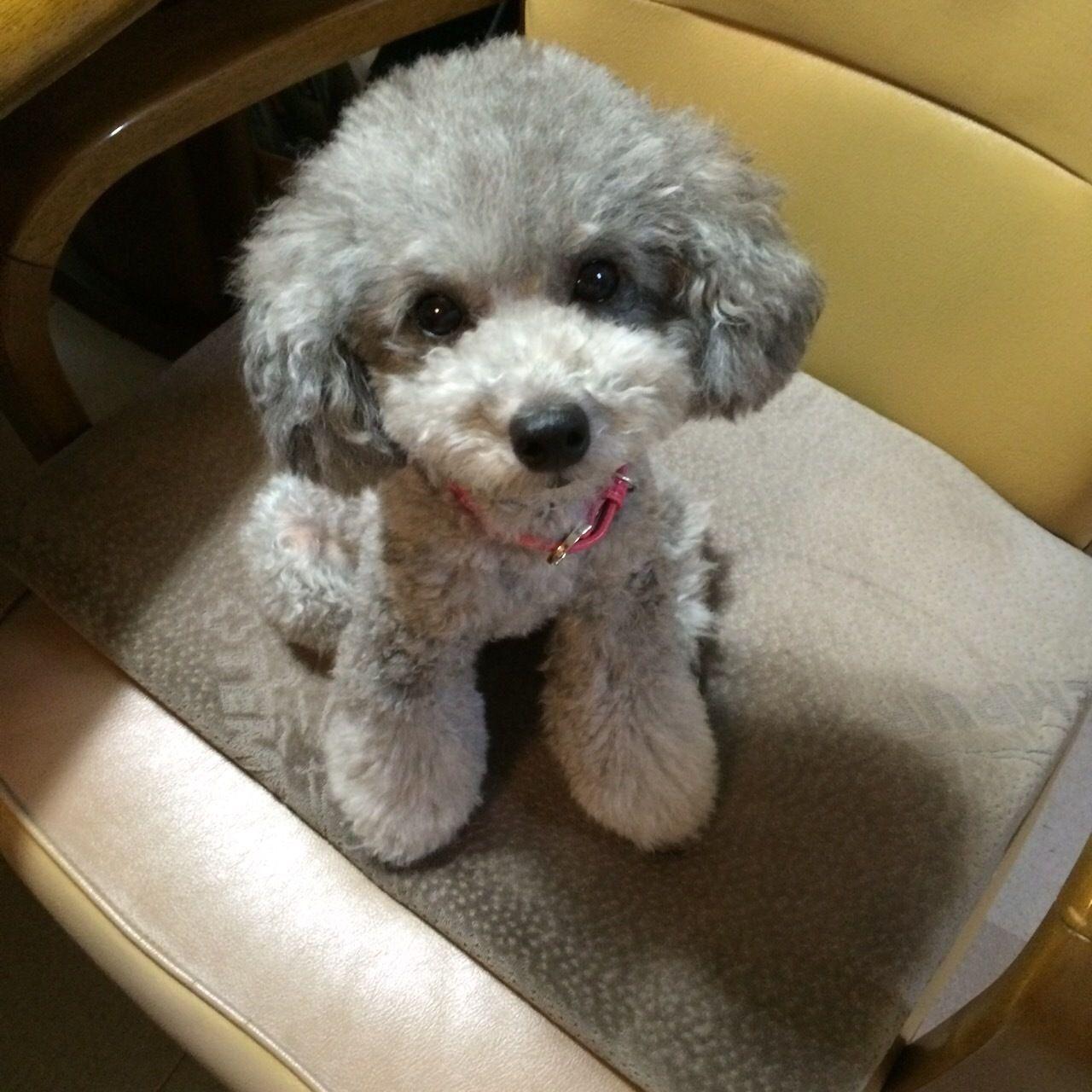 シルバーのトイプードルの色の変化 可愛い犬 トイプードル 犬の