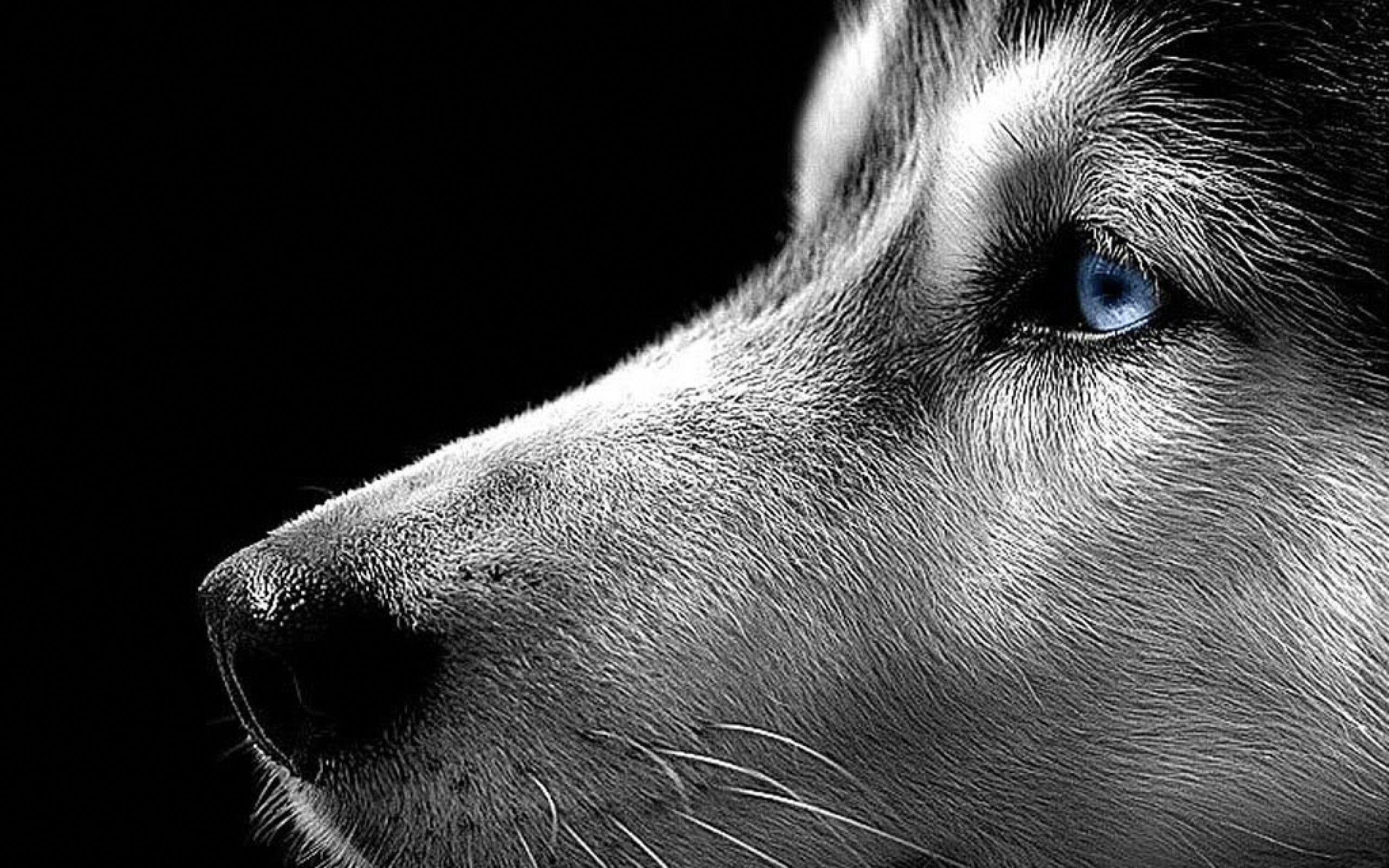 Animals Dogs Puppies Husky Siberian Husky Wallpaper Taken From