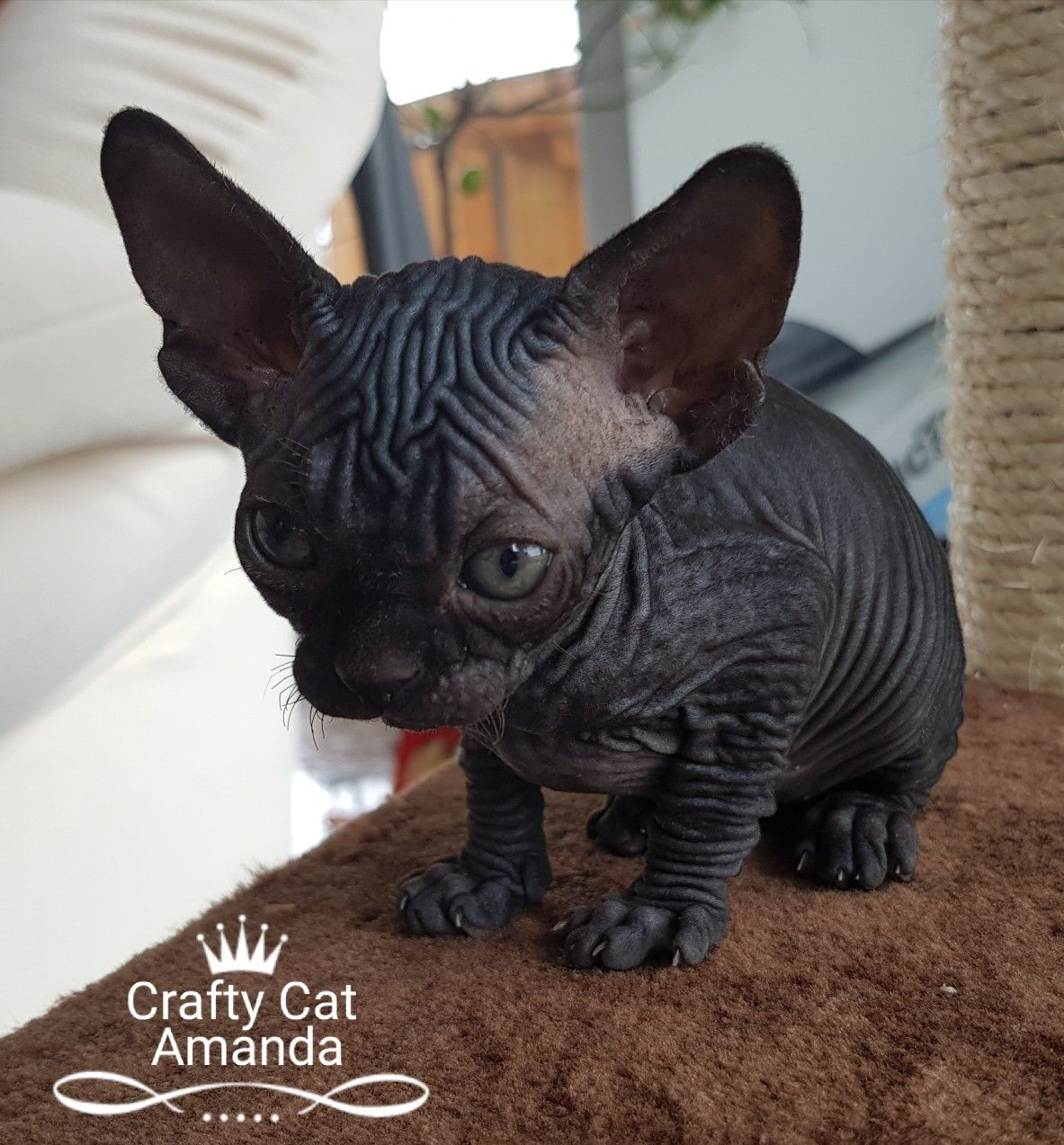 Idea by Crafty Cats Szfinx/Sphynx on Crafty Cats Sphynx