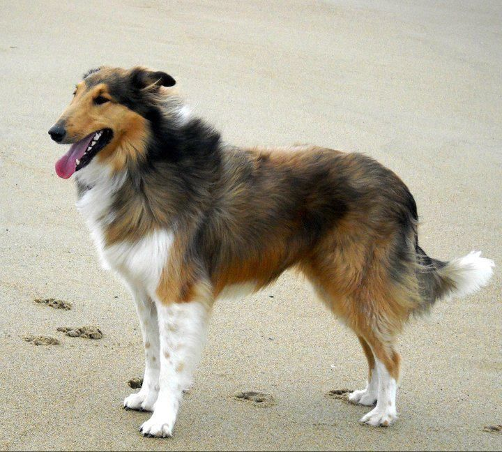 Contour Trim On A Sable Rough Collie Rough Collie Collie Dog Pet Life