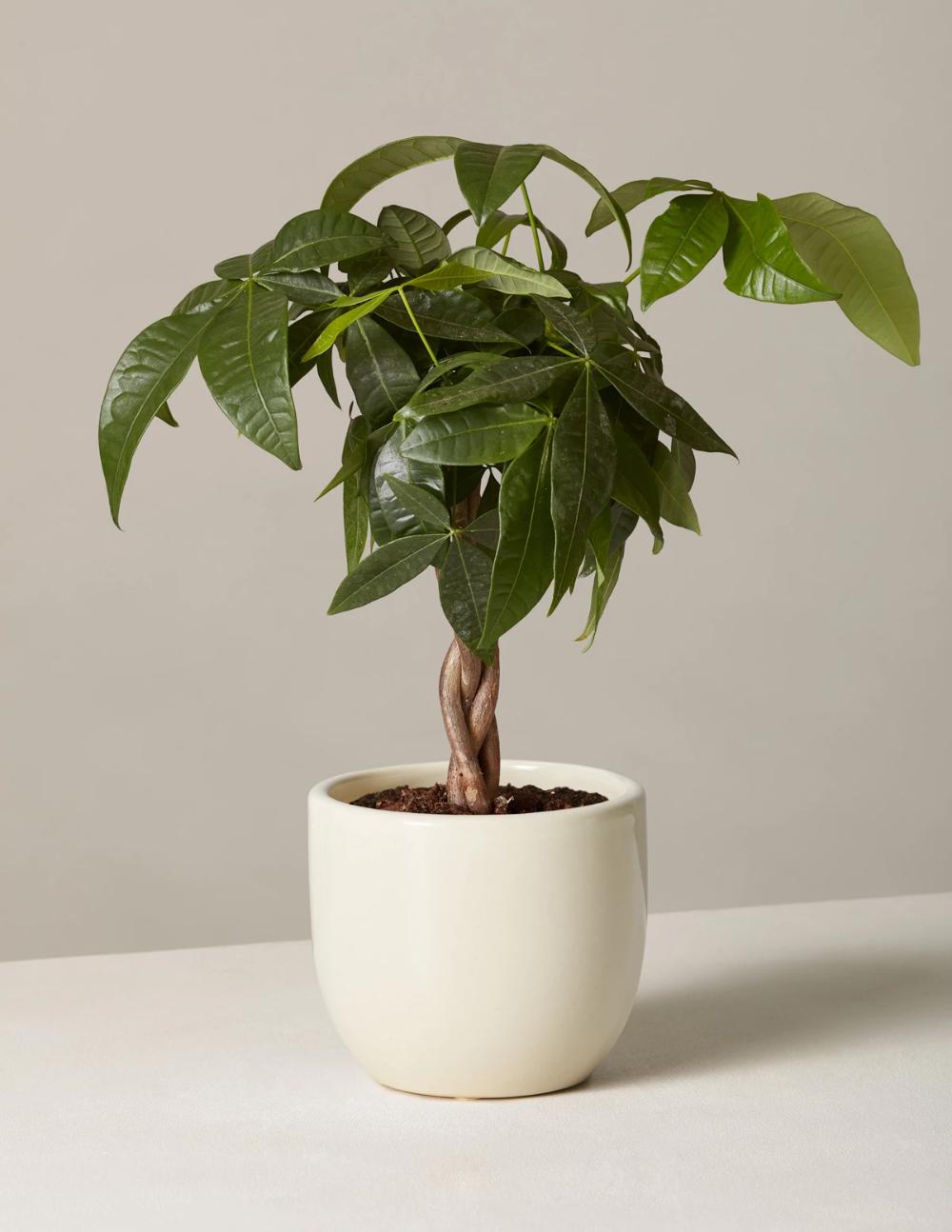 Money Tree Plant Money Tree Plant Trees To Plant Plant Care Houseplant