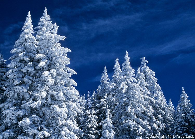 Snow covered trees at night snow covered conifers in - Images of pine trees in snow ...