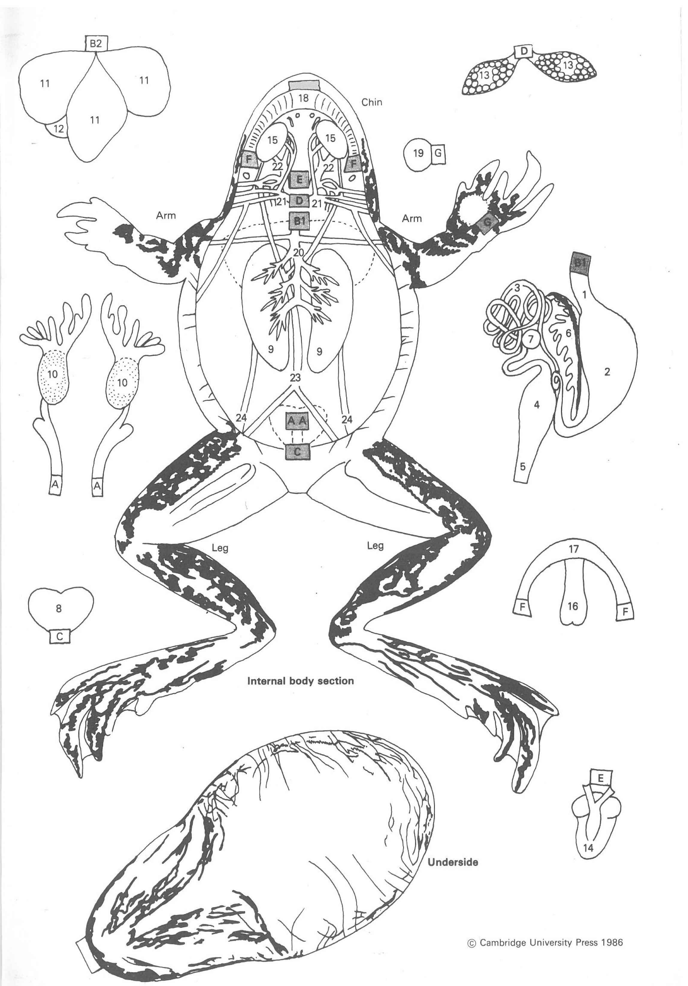 02 Cut Paste Frog Anatomy A Paper Dissection Biology