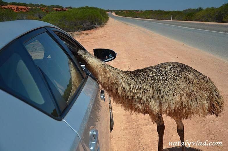 curious Emu at Monkey Mia, Shark Bay region Western