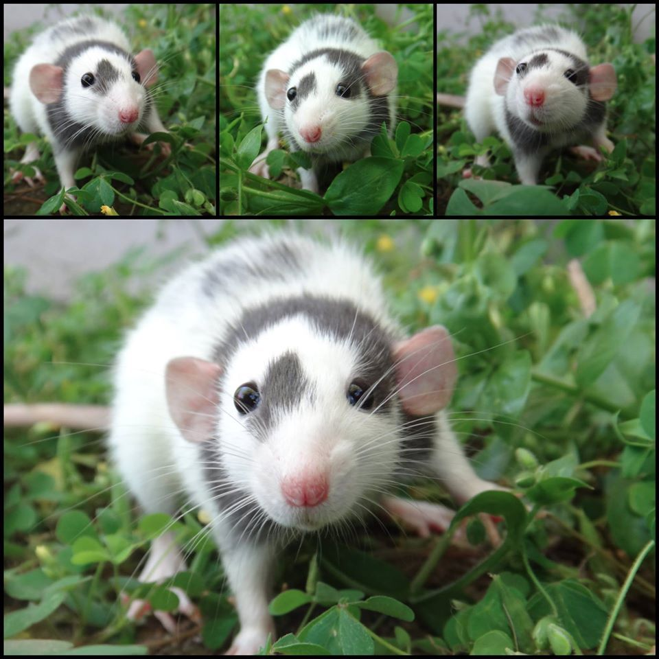 Sweet Girl Rat With Unique Markings Pet Rats Miniature Dogs Animals