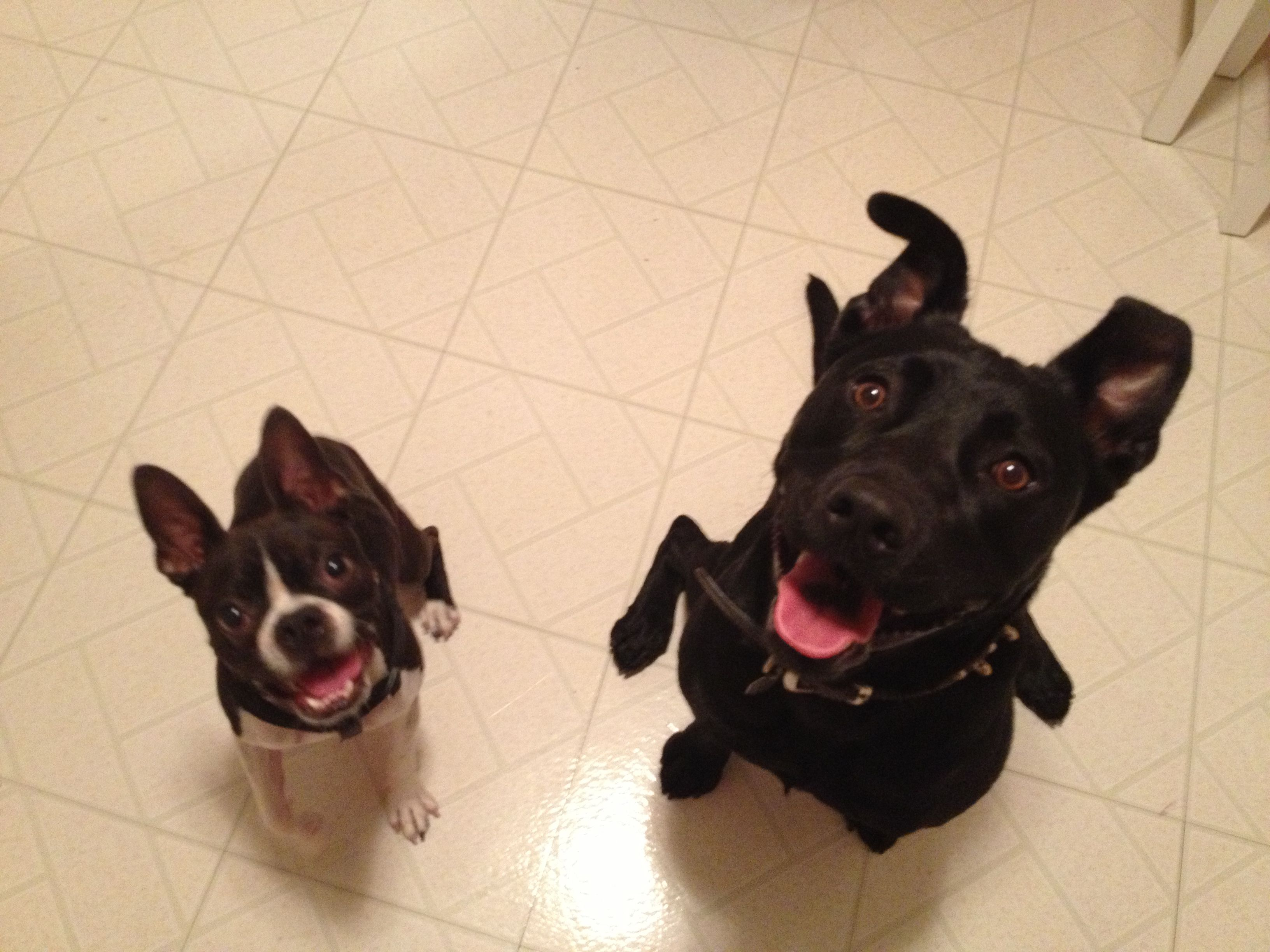 Best Friends Boston Terrier Black Lab Pitbull Animals Puppies Dogs