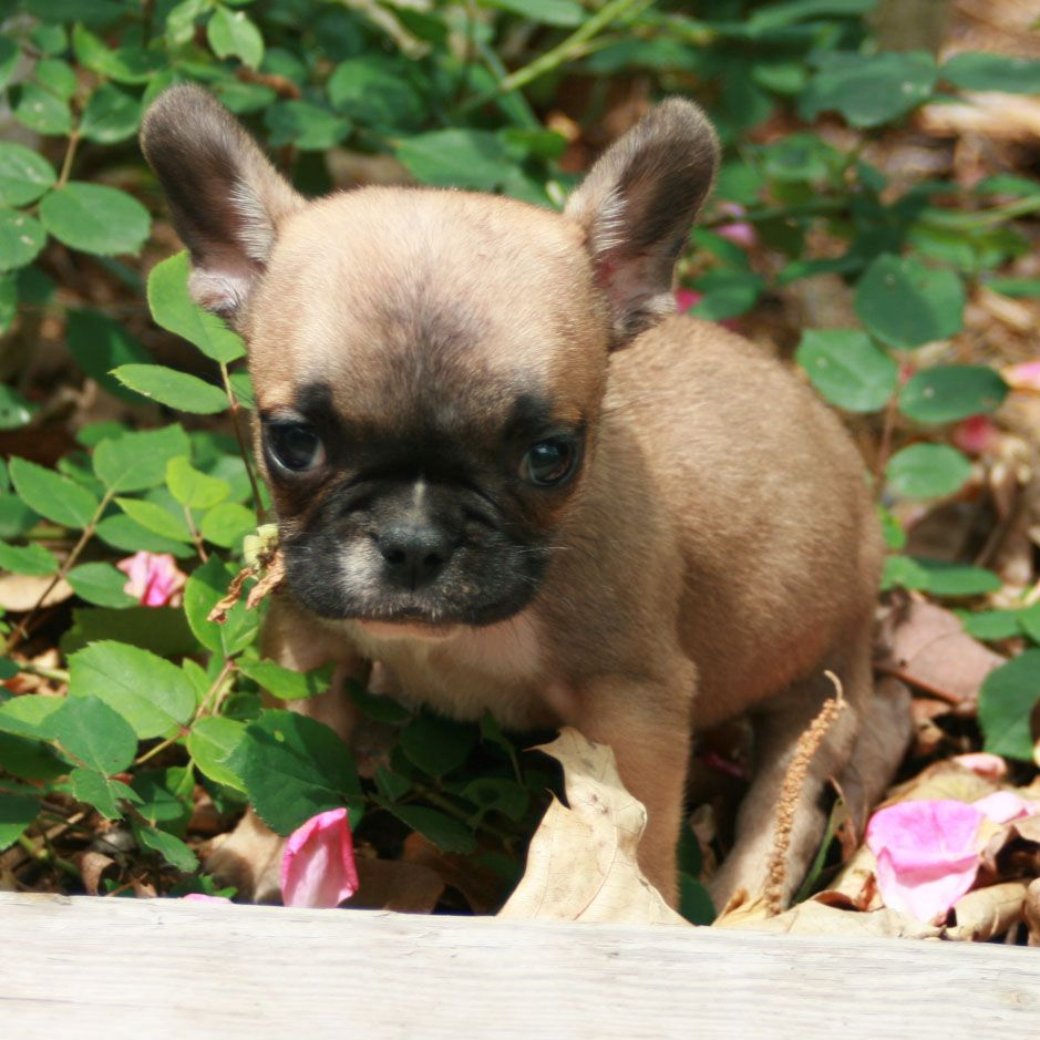Pin on FOR SALE French Bulldog Pups (updated frequently)