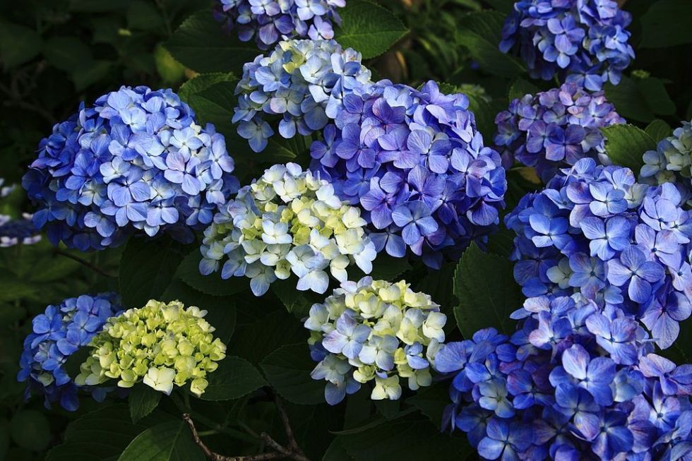 9 Summer Flowers And Their Secret Meanings Hydrangea Flower Summer Flowers Flowers