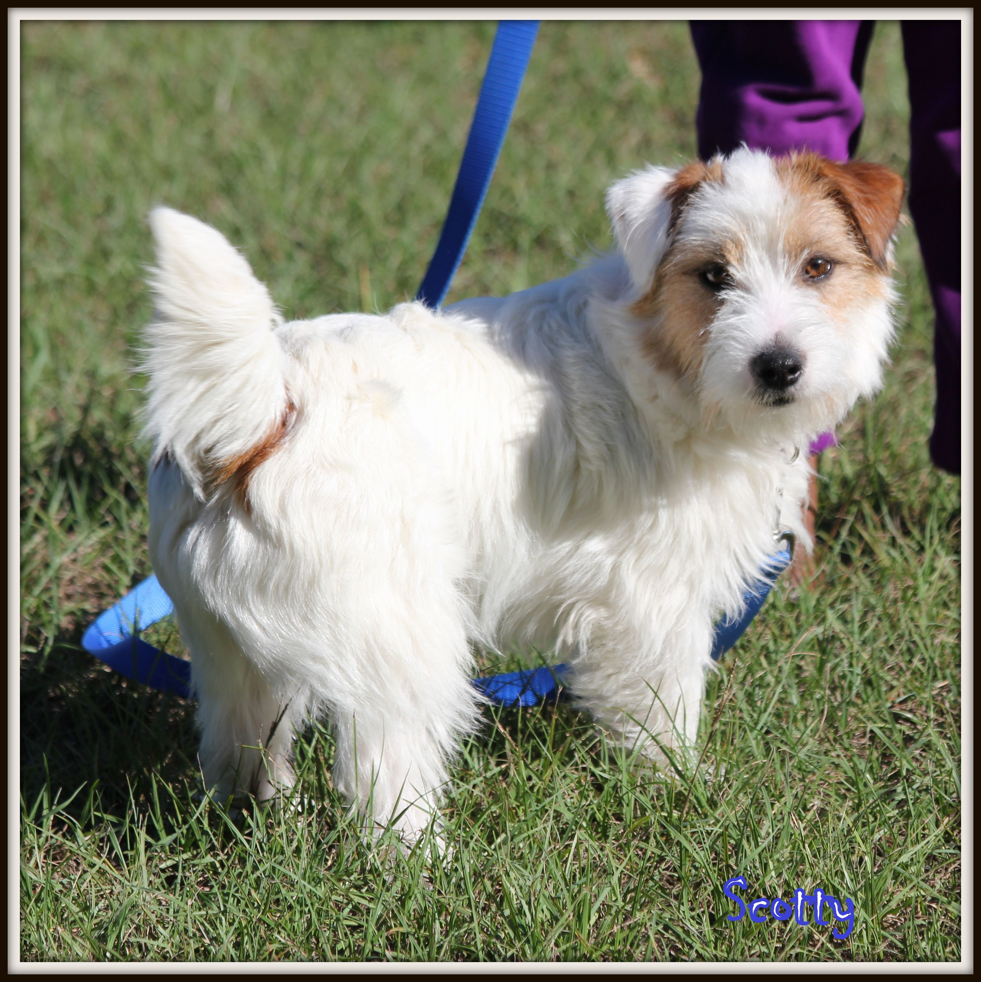 Jack Russells For Sale In Louisiana Russellville Farms Jack