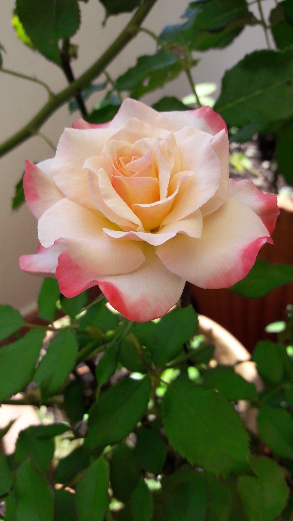 Roses In Garden: Pin By Mary Gallant Webb On Garden
