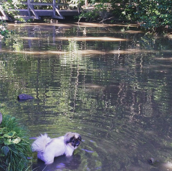This Puppy Isn T Sure If The Water Is Right For Him Dogwood Park Surrey Bc Angus Off Leash Dogs Puppies Cutedogs Sma Dog Park Dogs Park