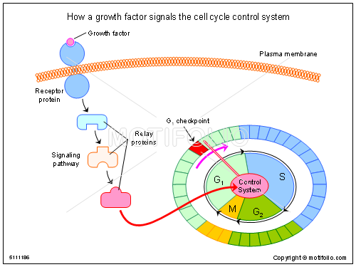 How a growth factor signals the cell cycle control system ppt how a growth factor signals the cell cycle control system ppt powerpoint drawing diagrams ccuart Choice Image