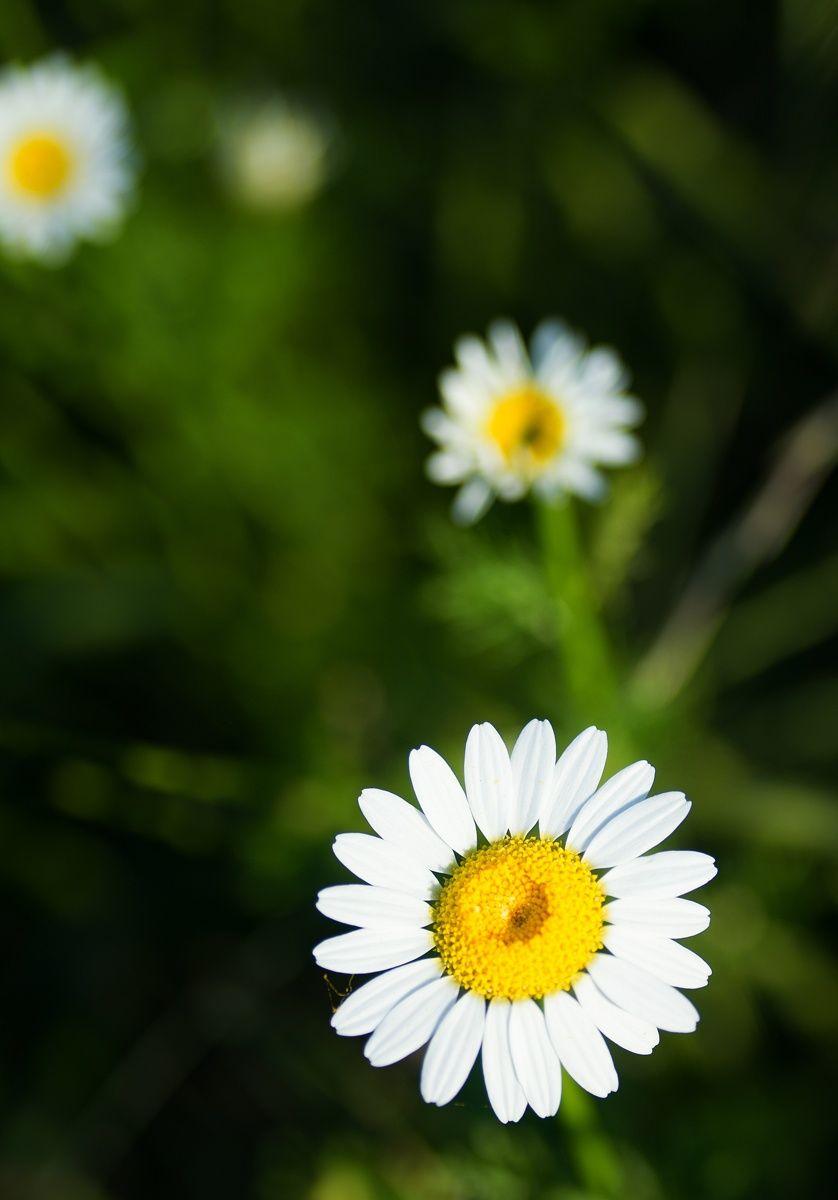 Fall daisy... by Merthan Kortan on 500px