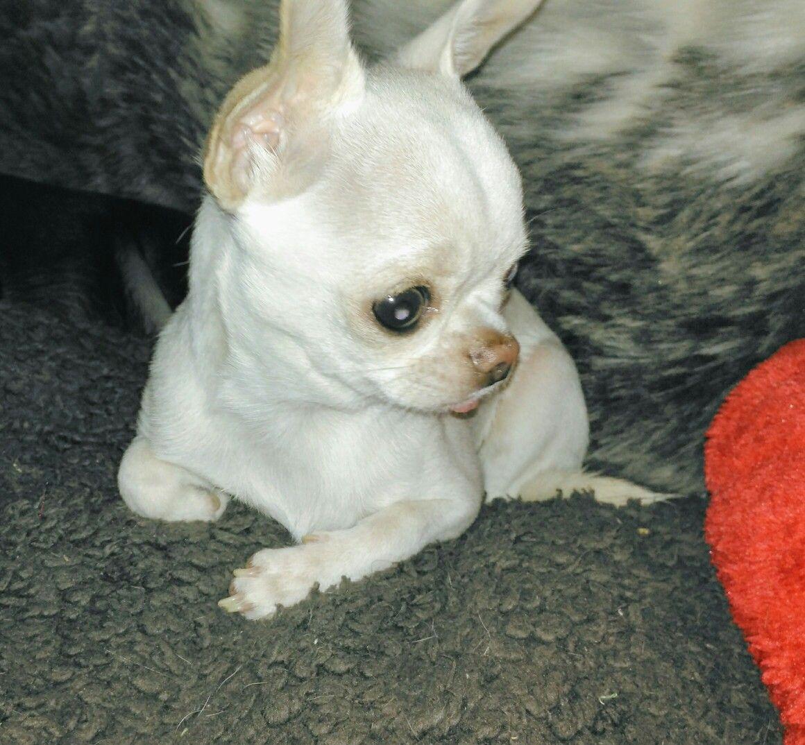 Bertie The White Chihuahua