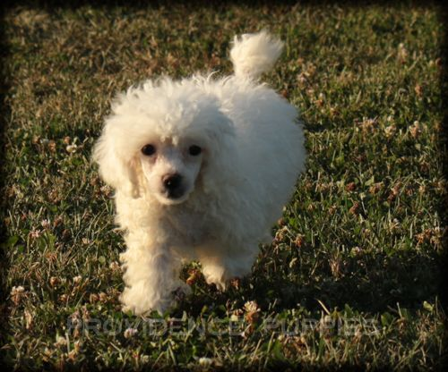 Poodle Miniature Puppy For Sale In Wayland Ia Adn 37524 On