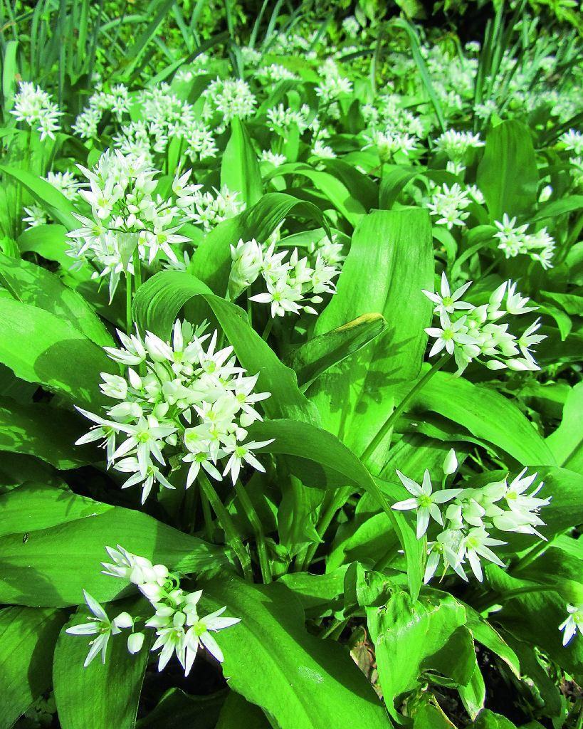 Czosnek Niedzwiedzi Odstrasza Kleszcze Herbs Plants
