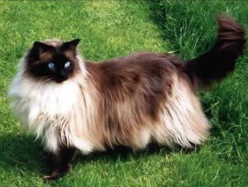 A stunning and very dark Sealpoint Colorpoint Ragdoll cat, this breed of cat should remain indoors only.