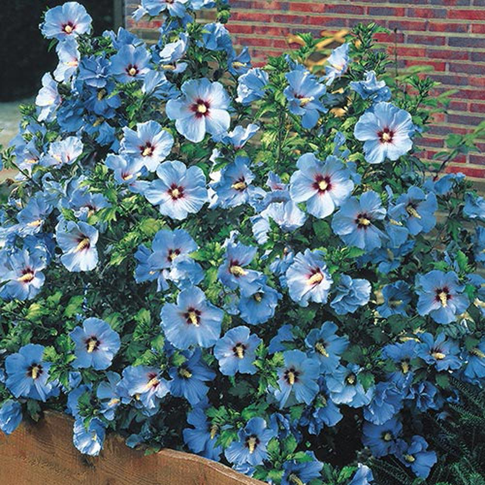 Spring Hill Nurseries 4 in. Pot Bluebird Rose of Sharon (Althea), Live Deciduous Plant, Blue Flowers on Green Foliage (1-Pack) #blueflowerwallpaper