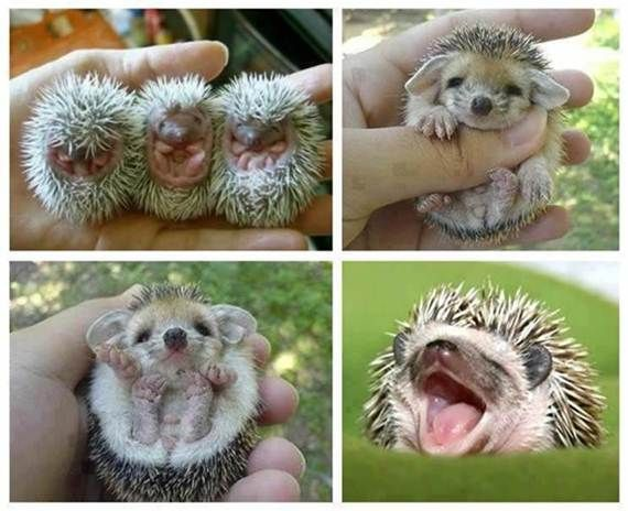 smiling baby porcupines!