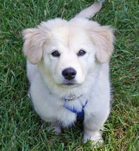 Great Pyrenees And Golden Retriever Mix Want Golden Retriever