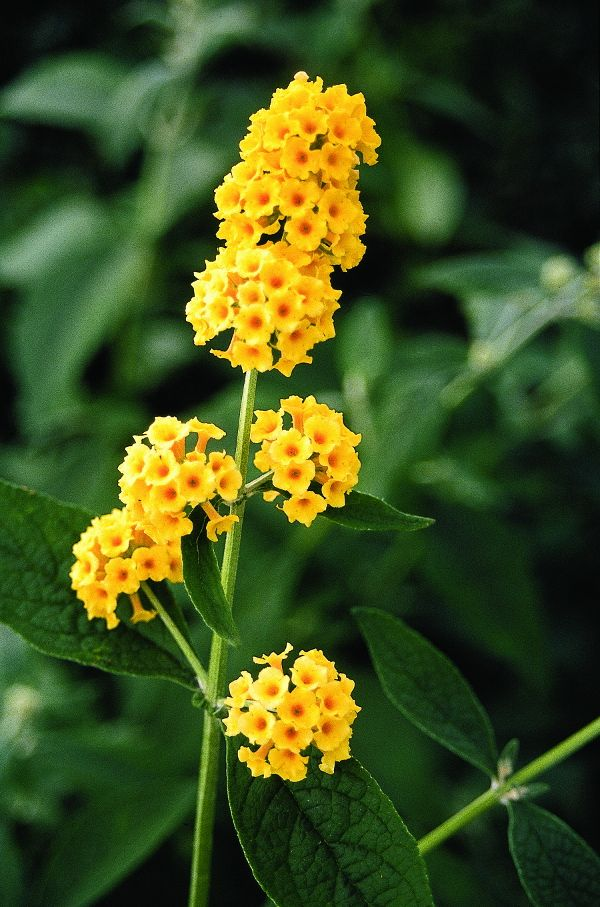 Buddleia Honeycomb Butterfly Bush Yellow Flowering Plants Rabbit Resistant Plants