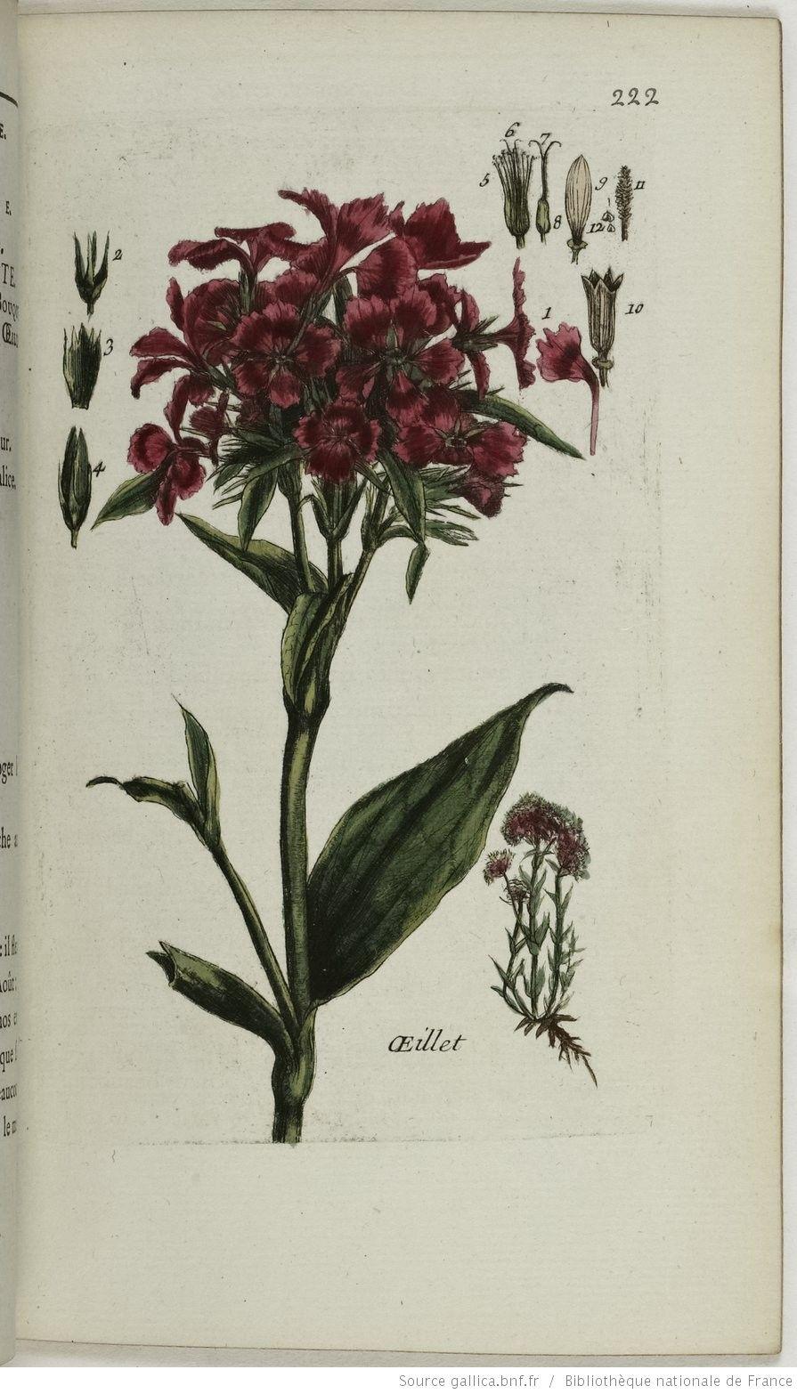 DIANTHUS - Dianthus carthusianorum. L'œillet de poète / Le bouquet parfait ou bouquet tout fait / Œillet des Chartreux / Œillet bouquet