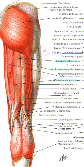 musculos-muslo-posterior.png (357×709) | Anatomy References | Pinterest