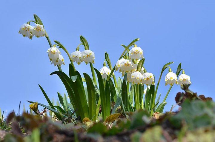 Pelnia Kwitnienia Sniezyc Wiosennych Nadlesnictwo Baligrod Lasy Panstwowe Nature Plants