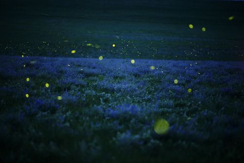 Lightning Bugs And Wild Alfalfa Blanket By Jim Richardson