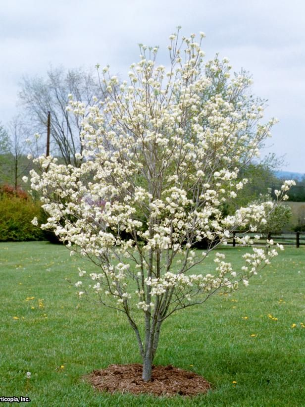 Flowering Dogwood Tree Varieties Dogwood trees