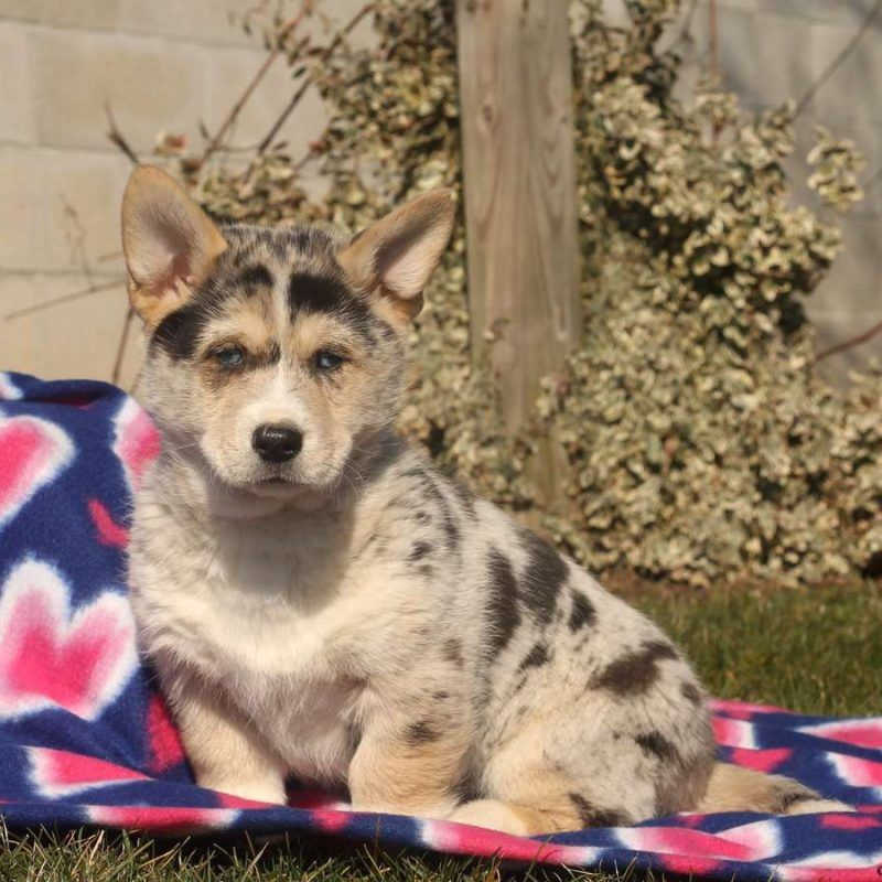 Siborgi Horgi Puppies For Sale Corgi Husky Corgi Corgi Husky Mix