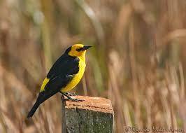 veste-amarela_Xanthopsar flavus Brazilian Birds