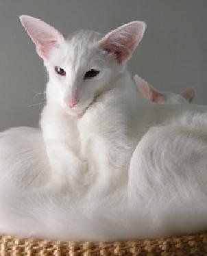 Oriental Shorthair Cats Created From Crossing Siamese With Domestic Shorthair To Produce This Breed Oriental Shorthair Cats Purebred Cats Beautiful Cats