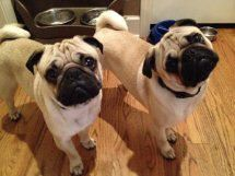 Check Out Adoptable Pugs At Mn Pug Rescue Pug Rescue New Puppy