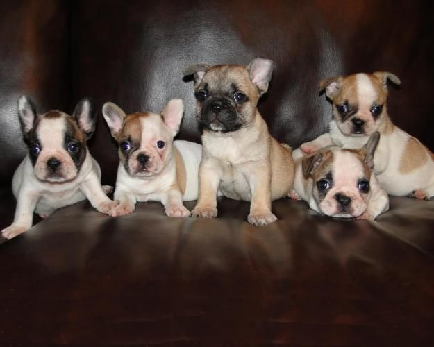 The One In The Middle Reminds Me Of My Francesca French Bulldog