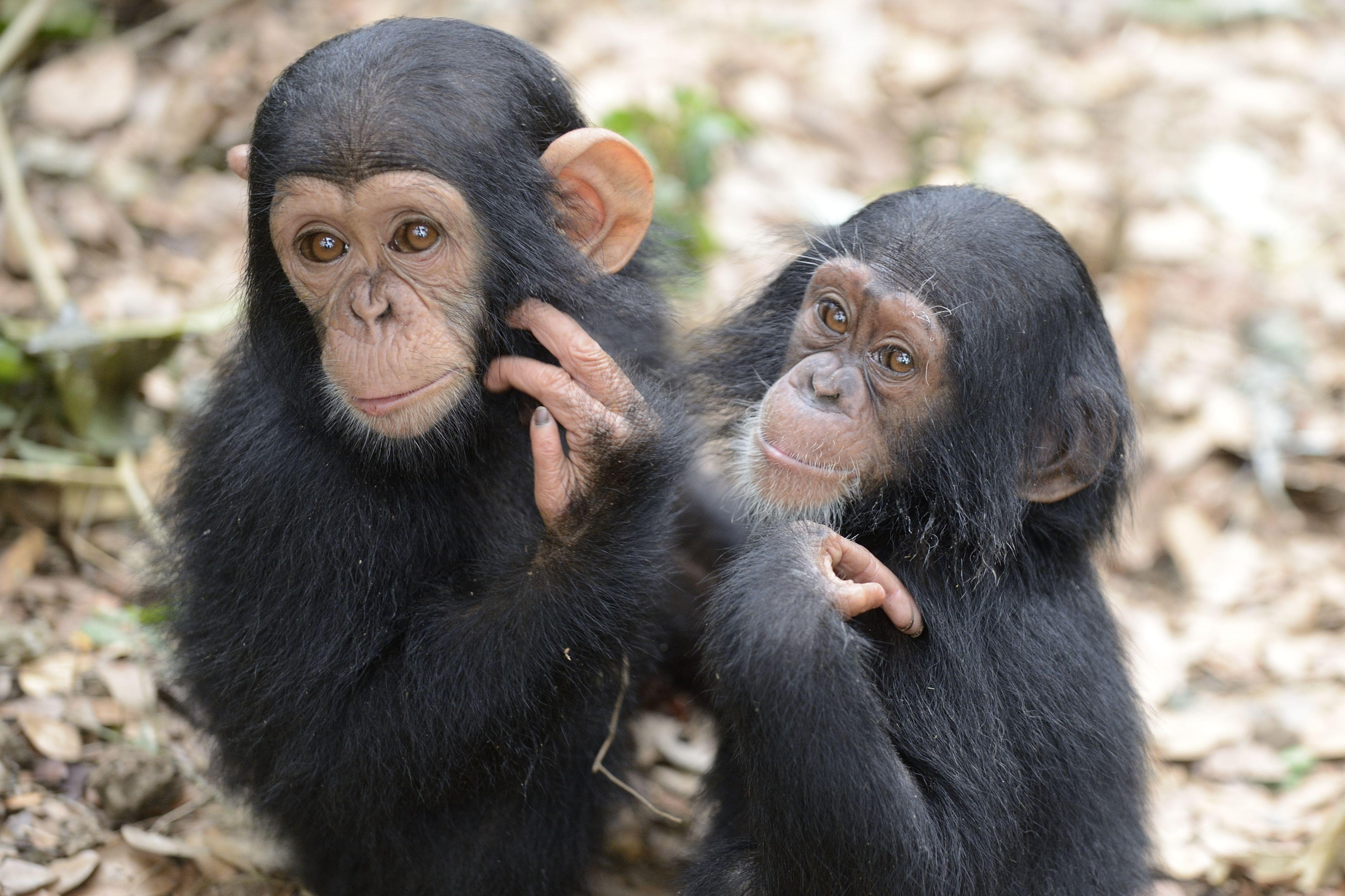 IDA-Africa's Sanaga-Yong Chimpanzee Rescue Center is