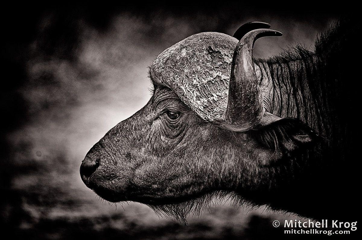 African Buffalo - Kruger Park