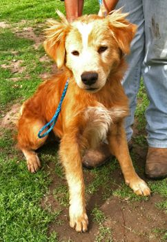This Is Butters A 9 Month Old Golden Collie Mix He Is An Owner