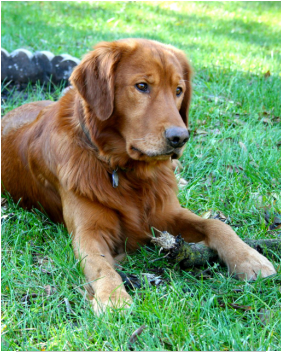 Dark Golden Retriever Golden Retriever Dogs Golden Retriever Dark Golden Retriever