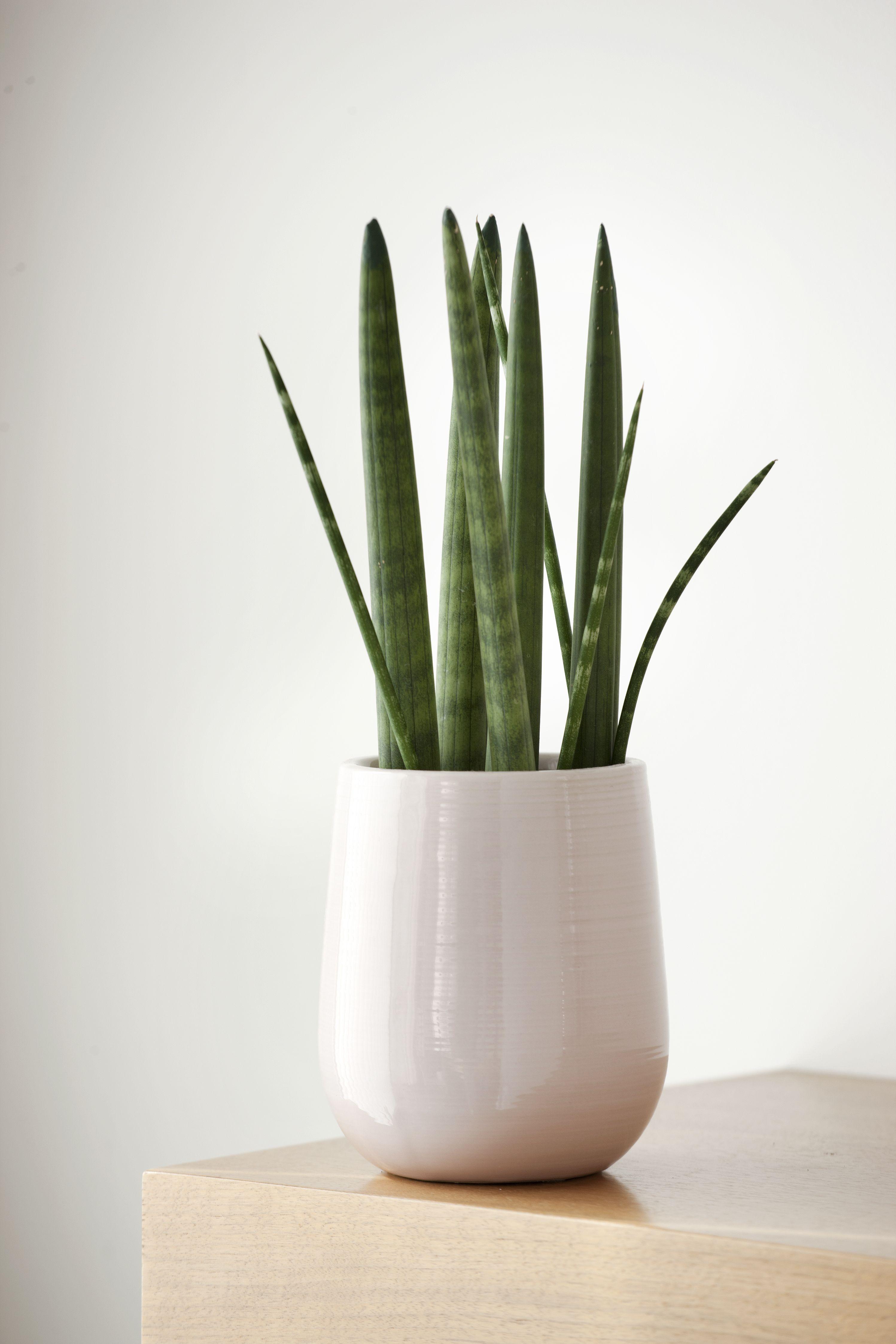 Sansevieria cylindrica  Plants, Bathroom plants, House plants