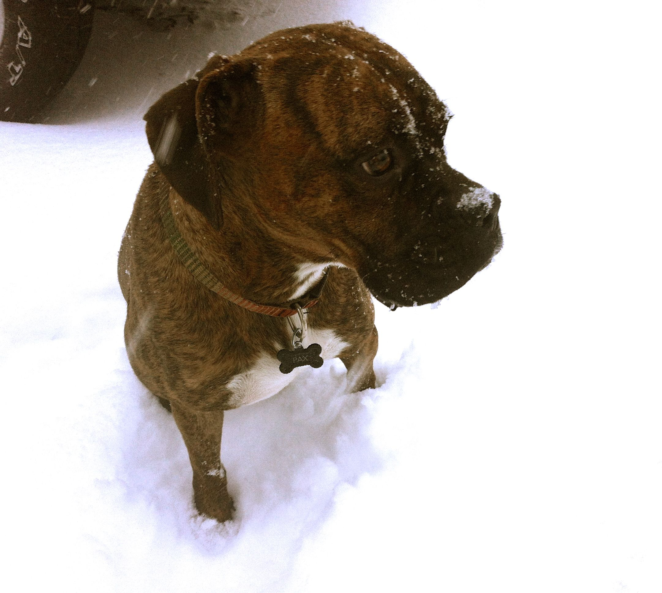 Boxer in snow Animals, Boxer, Dogs