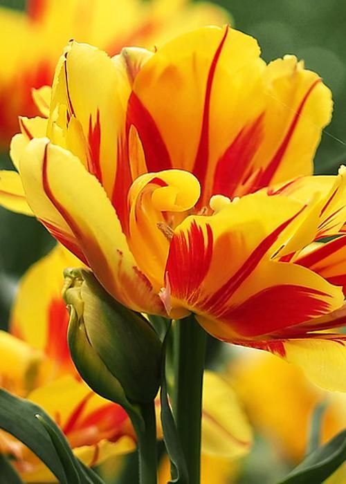 Yellow and Red Triumph Tulips by Rona Black