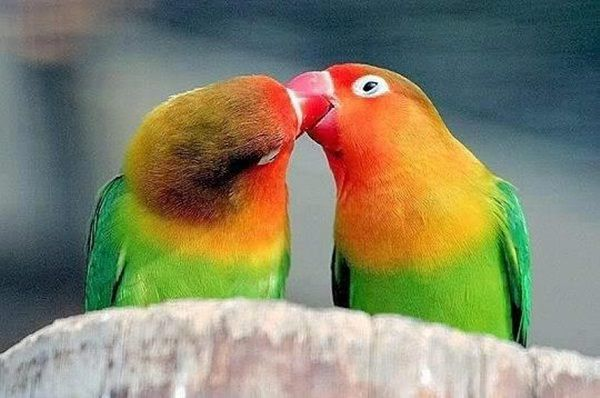 Love Bird Kissing Parrot Picture Imagefully Download Love Bird Kissing Parrot Picture Images Photos Picture For Free
