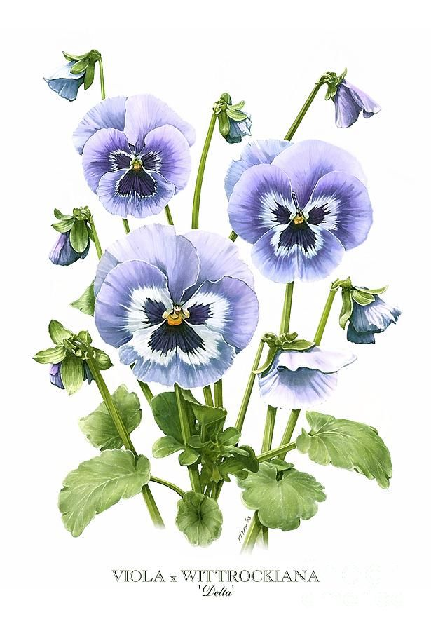 pansy flower drawing - photo #21
