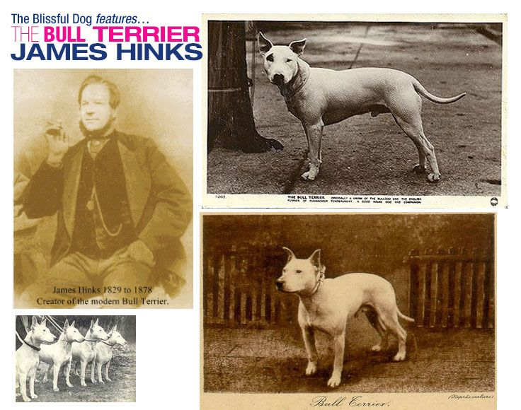 James Hinks Considered To Be The Man Who Created The Bull Terrier We Know Today Was An Irish Dog Breeder Dealer In The E Bull Terrier Irish Dog Ancient Dogs