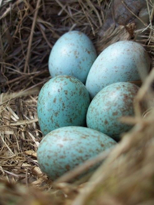 Gorgeous Robin S Blue Eggs With Images Blue Eggs Black Bird