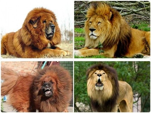11 Dogs That Look Like Lion Leopard Tiger Panda And Other Wild
