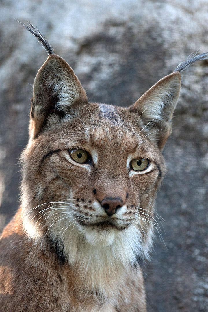 lynx Google Search Animais silvestres, Animais
